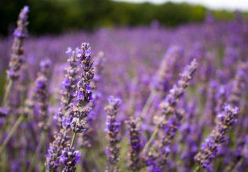 Olejki eteryczne - olejek lawendowy - lavender essential oil